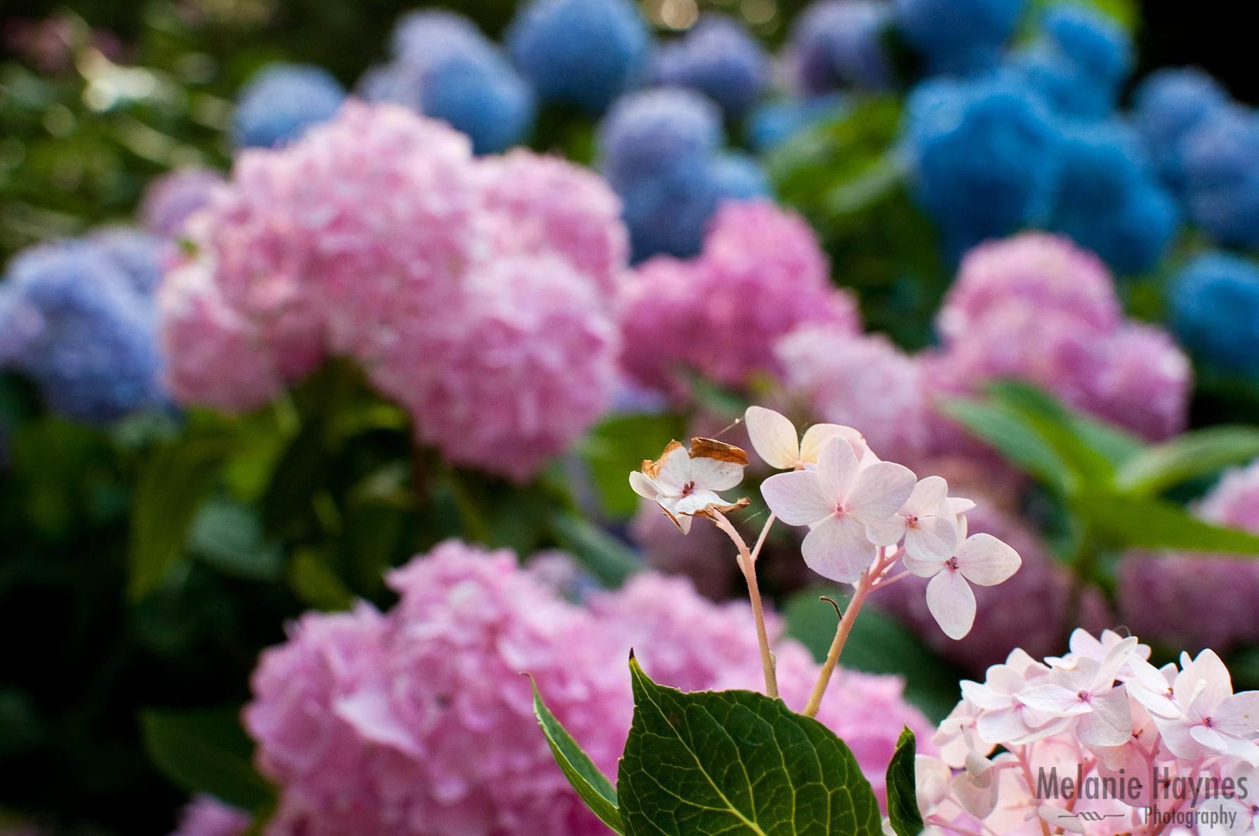 My 365 Pastel Flowers